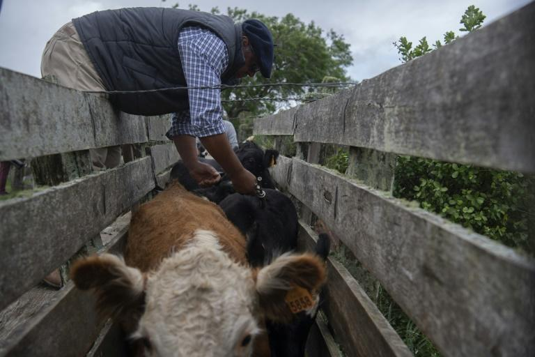 Farmers like Alejandro Rodriguez have been advized to take care of the pastureland their cattle graze on to improve productivity