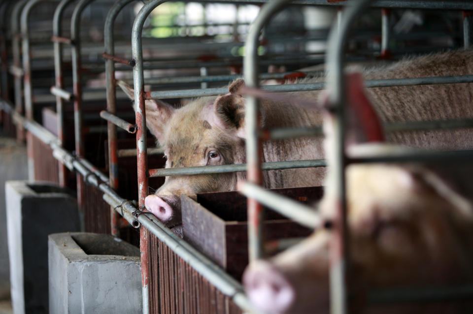 While the intensification of agriculture in China has been fast, they have not developed animal welfare laws. Source: Getty