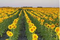 """<p>North Dakota grows more of these cheery blooms than any other state (51 percent of the nation's crop, to be exact), and you can find many fields of them growing in the center of the state. This <a href=""""http://prairiecalifornian.com/where-to-find-sunflowers/"""" rel=""""nofollow noopener"""" target=""""_blank"""" data-ylk=""""slk:sunflower field"""" class=""""link rapid-noclick-resp"""">sunflower field</a>, located near Michigan City, North Dakota, is particularly beautiful, but wherever you choose to go to view the flowers is well worth the trip.</p>"""