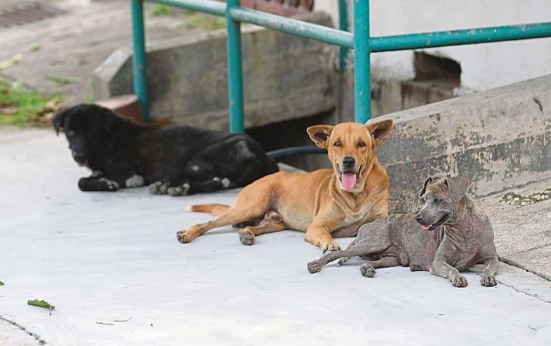 Stray dogs are seen in Ipoh. Five dogs are believed to have been poisoned earlier this month in Seremban. — Picture by Marcus Pheong