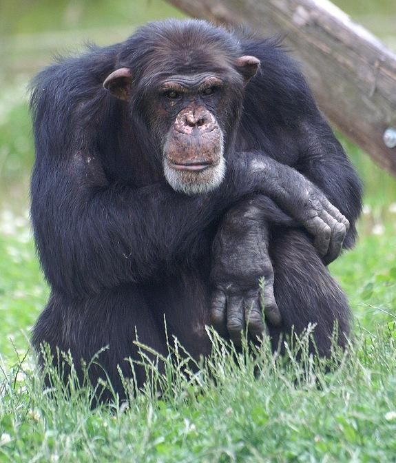 Why Some Chimps Are Smarter Than Others