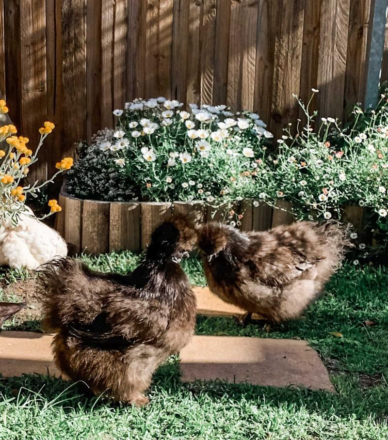 Photo of the author's silkie chickens