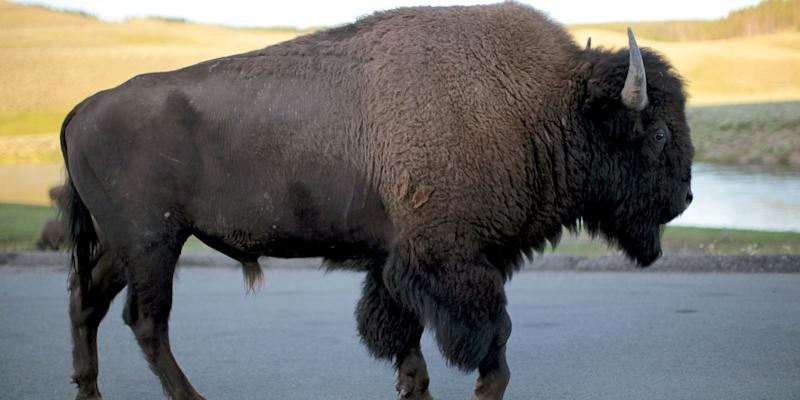 A bison walks in Yellowstone National Park