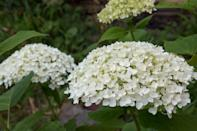 """<p>In early summer, the blooms of an """"Incrediball"""" hydrangea will arrive in their creamy green glory. As the flowers develop, pristine stark white blooms appear—and they <a href=""""https://www.marthastewart.com/7982162/how-boost-color-hydrangeas"""" rel=""""nofollow noopener"""" target=""""_blank"""" data-ylk=""""slk:hold their color all summer long"""" class=""""link rapid-noclick-resp"""">hold their color all summer long</a>, notes Mast. """"As fall approaches, the large blooms tend to revert to jade green again."""" The gist? This iteration will put on a show that lasts throughout the summer and well into fall. If you want to add one to your yard, place it in a spot where it receives sun in the morning and shade in the afternoon. They can be grown in USDA Hardiness Zones three through nine, but they are native to the eastern United States.</p>"""