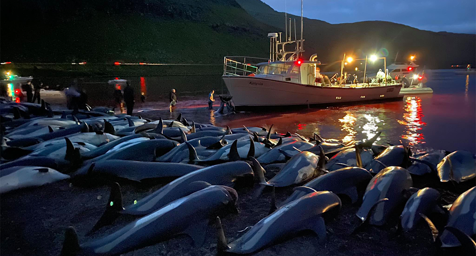 Waters turned red with blood after close to 1500 dolphins were slaughtered in the Faroe Islands. Source: Sea Shepherd