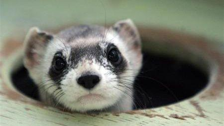 The ferret, similar to the once pictured here, was relocated to safer grounds by security guards. Photo: Reuters