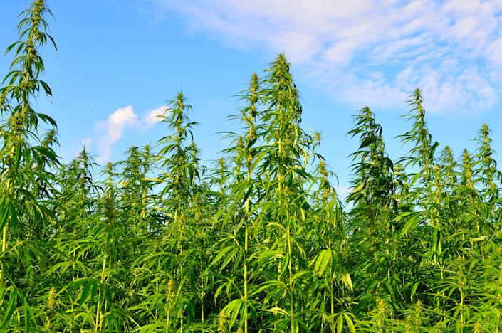 "<h1 class=""title"">A lot of hemp growing on a hemp farm</h1> <div class=""caption""> Industrial hemp requires very little pesticides and fertilizer, <a href=""https://hemp-copenhagen.com/images/Hemp-cph-Carbon-sink.pdf"" rel=""nofollow noopener"" target=""_blank"" data-ylk=""slk:absorbs more C0"" class=""link rapid-noclick-resp"">absorbs more C0</a> <sub>2</sub> than any forest or commercial crop, and can be made into textiles, paper, composite materials, and more. </div> <cite class=""credit"">johnwoodcock</cite>"