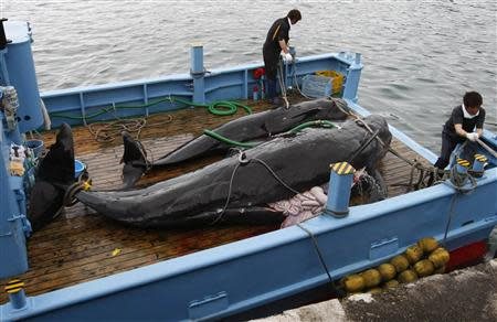 File photo of captured short-finned pilot whales on the deck of a whaling ship at Taiji Port in Japan's oldest whaling village of Taiji