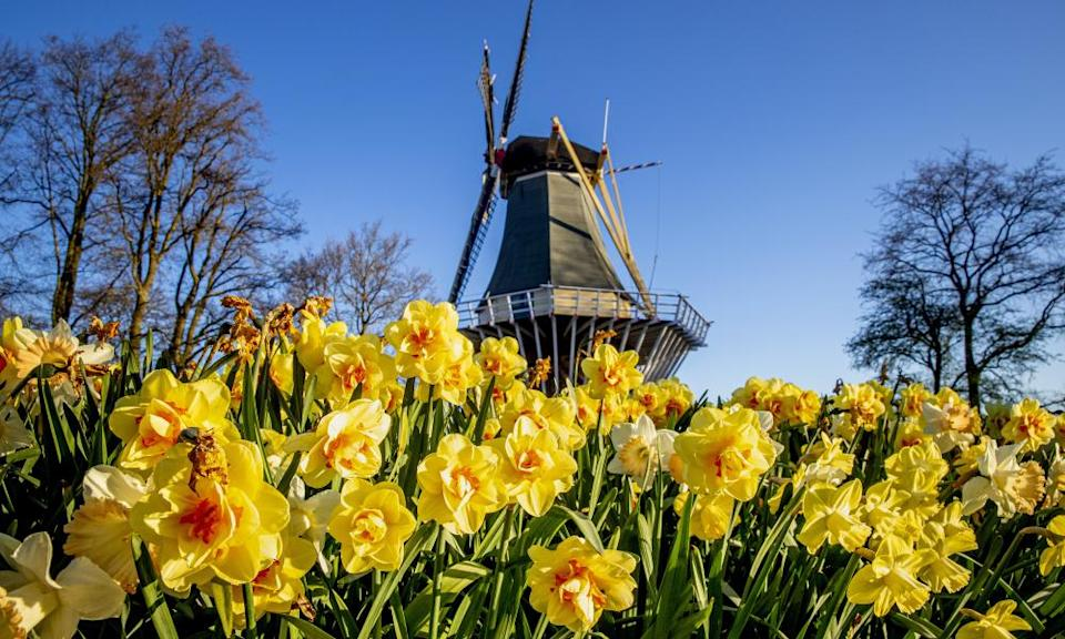 Flowers in front of a windmill in Keukenhof