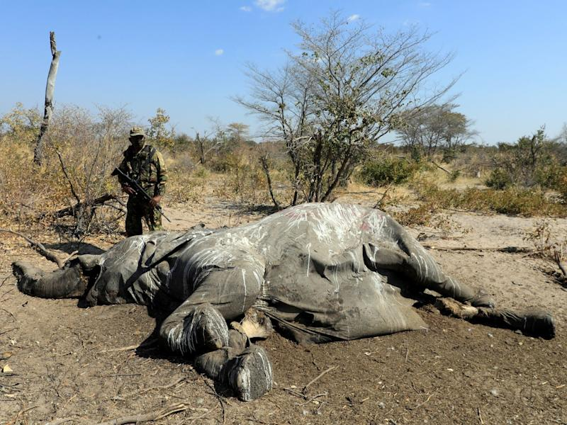 A member of the Botswana Defence Force Anti Poaching Unit stands over the carcass of an elephant found near Seronga, in the Okavango Delta on 9 July: Reuters