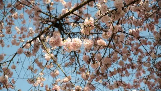 Cherry blossom viewing, known as 'hanami', is a Japanese tradition that involves spending time with family enjoying food and drink under freshly-bloomed trees.