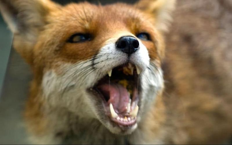 A diseased fox has been seen loitering around the maternity wards at Bristol Southmead Hospital