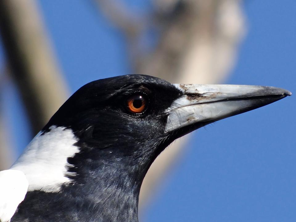 Close up of an Australian magpie in its native environment. Souce: Getty images