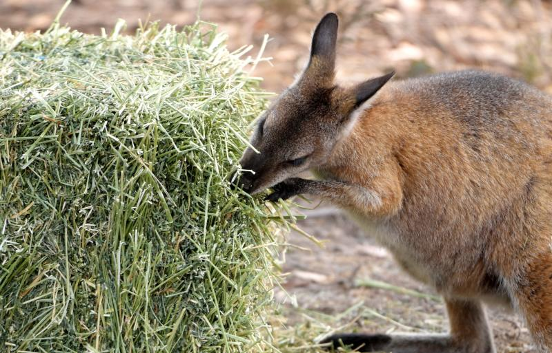 Wallabies eat hay left out for them by land holders near Cooma