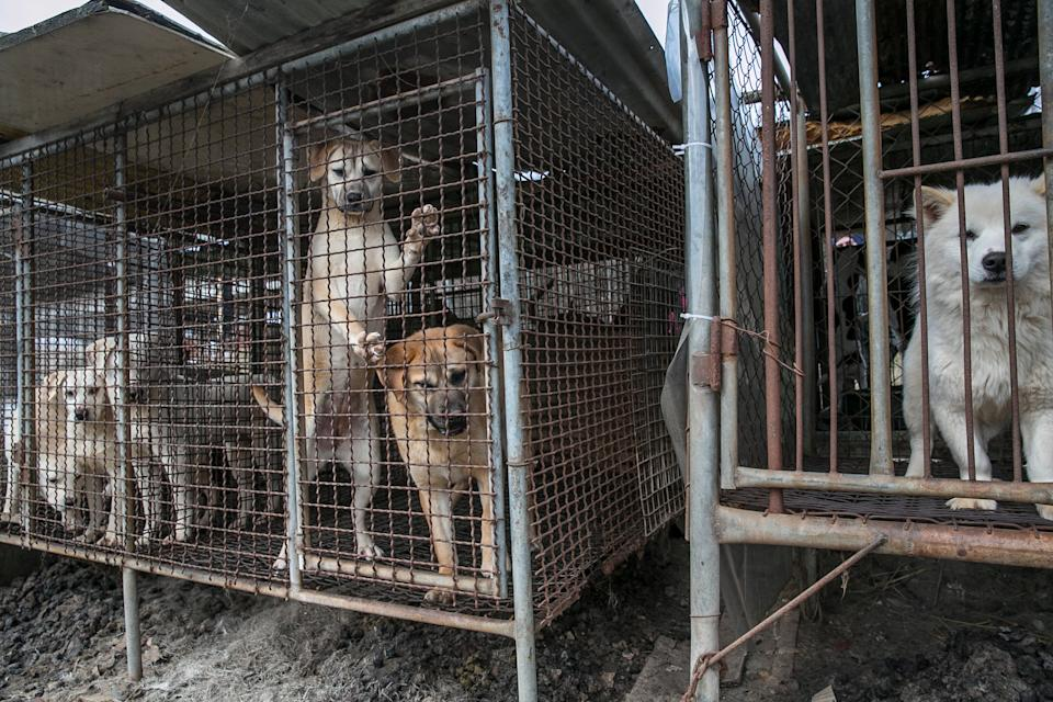 Dogs locked in cages at a dog meat farm in Hongseong.