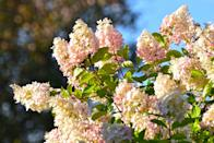 """<p>The Paniculata, or """"Bobo"""" hydrangea, is a dwarf panicle hydrangea that's ideal for smaller spaces; it produces a ton of blooms relative to its size, notes Yost. The flowers, which grow on sturdy stems that are resistant to flopping, fade to pink in the fall through a process that is sometimes referred to as antiquing. Originally native to China and Japan, these dwarf shrubs—which are most often successful in USDA Hardiness Zones three through nine—require partial shade to full sun and well-draining soil.</p>"""