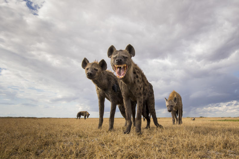 A spotted hyena clan in the Liuwa Plain National Park, Zambia. (Photo: Will Burrard-Lucas/Caters News)