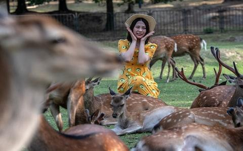 The deer have grown rather comfortable around Instagramming tourists - Credit: Getty