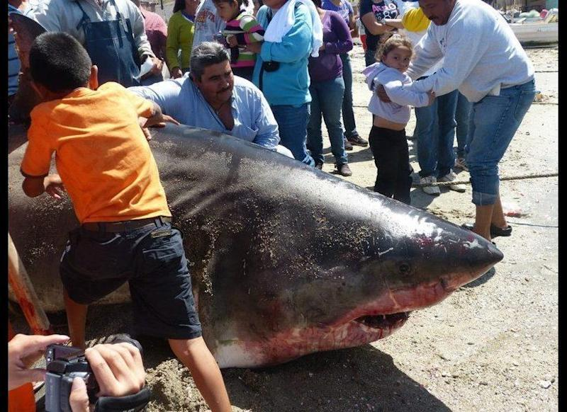 Two fishermen in northeastern Mexico claim they netted a dead great white shark estimated to be near 20-feet-long on April 15, 2012.