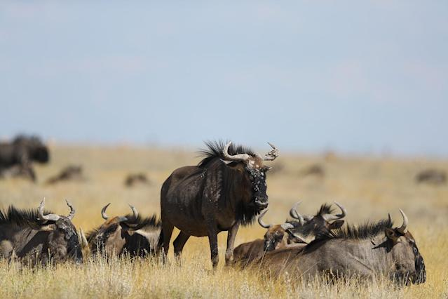<p>A herd of blue wildebeest relax in the grass along the side of a road in Etosha National Park. Many times the creatures will move if a vehicle gets too close. These guys did not move as the midday temperatures soared. (Photo: Gordon Donovan/Yahoo News) </p>