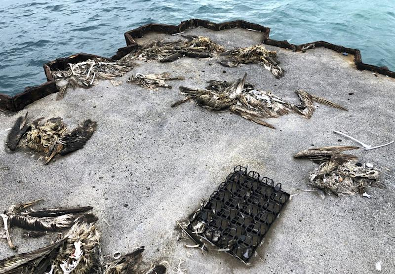 Bottle caps, toothbrushes and cigarette lighters can be seen sitting in the centers of feathery carcasses. Source: AP/Caleb Jones