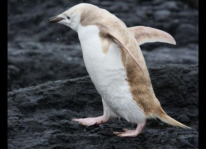 A rare, mostly white-colored penguin was discovered in Antarctica in early January 2012. The picture was snapped by naturalist David Stephens.