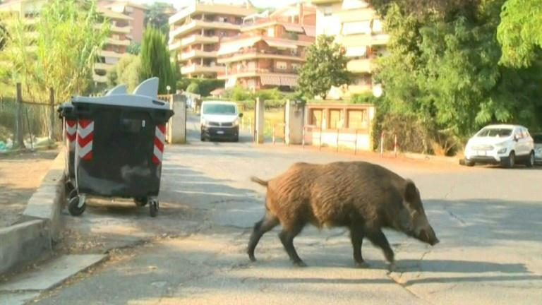 Wild boars overshadow mayoral race as Rome demands clean-up (AFP/Sonia LOGRE)