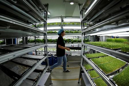 Staff member walks to harvest microgreens at an indoor hydroponic vegetable farming facility of Alesca Life in Beijing