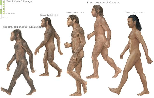 The human lineage (Encyclopaedia Britannica/Universal Images Group via Getty Images)