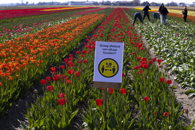 A sign asking people to observe social distancing and keep 1.5 meters, or five feet, apart to reduce the spread of the corona virus was put up in a field of tulips in Lisse, Netherlands, Thursday, March 26, 2020. The world-renowned Dutch flower garden Keukenhof in Lisse will not open this year after the Dutch government extended its ban on gatherings to June 1 in an attempt to slow the spread of the coronavirus. Instead of opening, it will allow people to virtually visit its colorful floral displays through its social media and online channels. The new coronavirus causes mild or moderate symptoms for most people, but for some, especially older adults and people with existing health problems, it can cause more severe illness or death. (AP Photo/Peter Dejong)