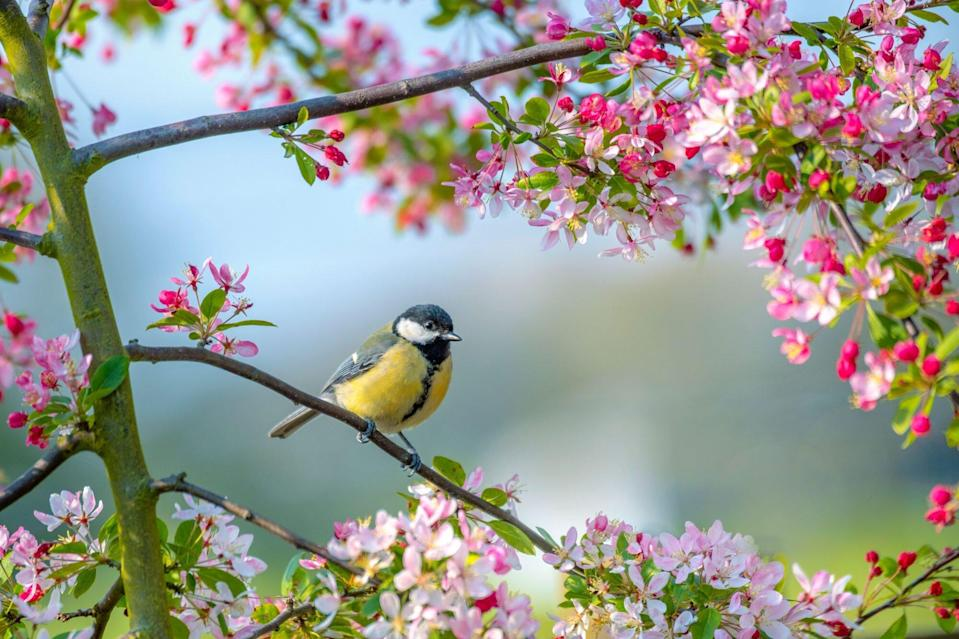 A Bluetit garden bird Parus major. resting on the branch of a crab apple tree with spring blossom