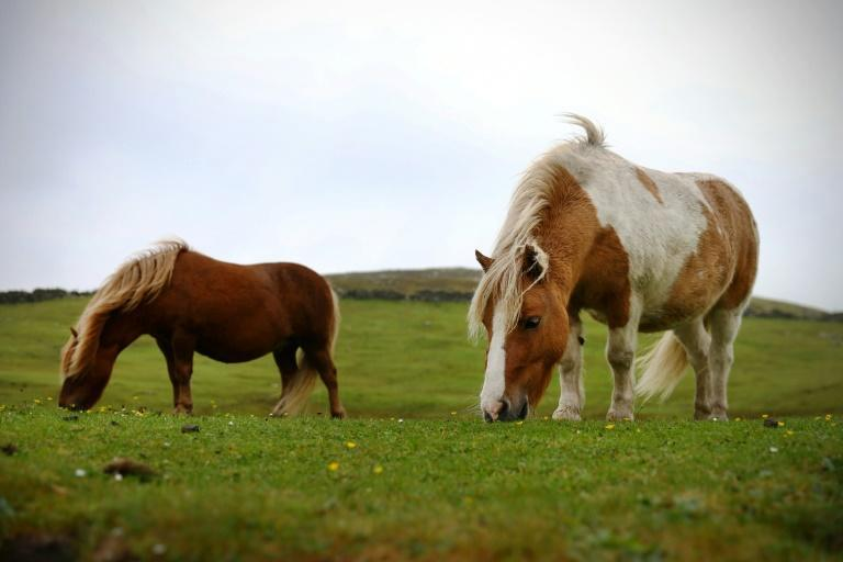 Because of their size, Shetland ponies are cheaper and easier to maintain than larger horses (AFP/ADRIAN DENNIS)