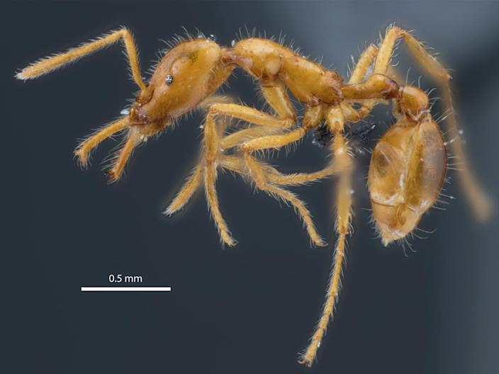 The miniature trap-jaw ant called Strumigenys ayersthey (PA)
