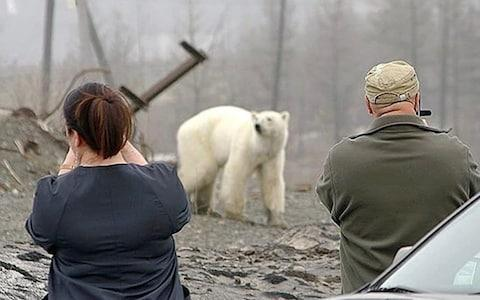 Residents take photographs of the bear, which looks to be exhausted and hungry - Credit: Zapolyarnaya Pravda