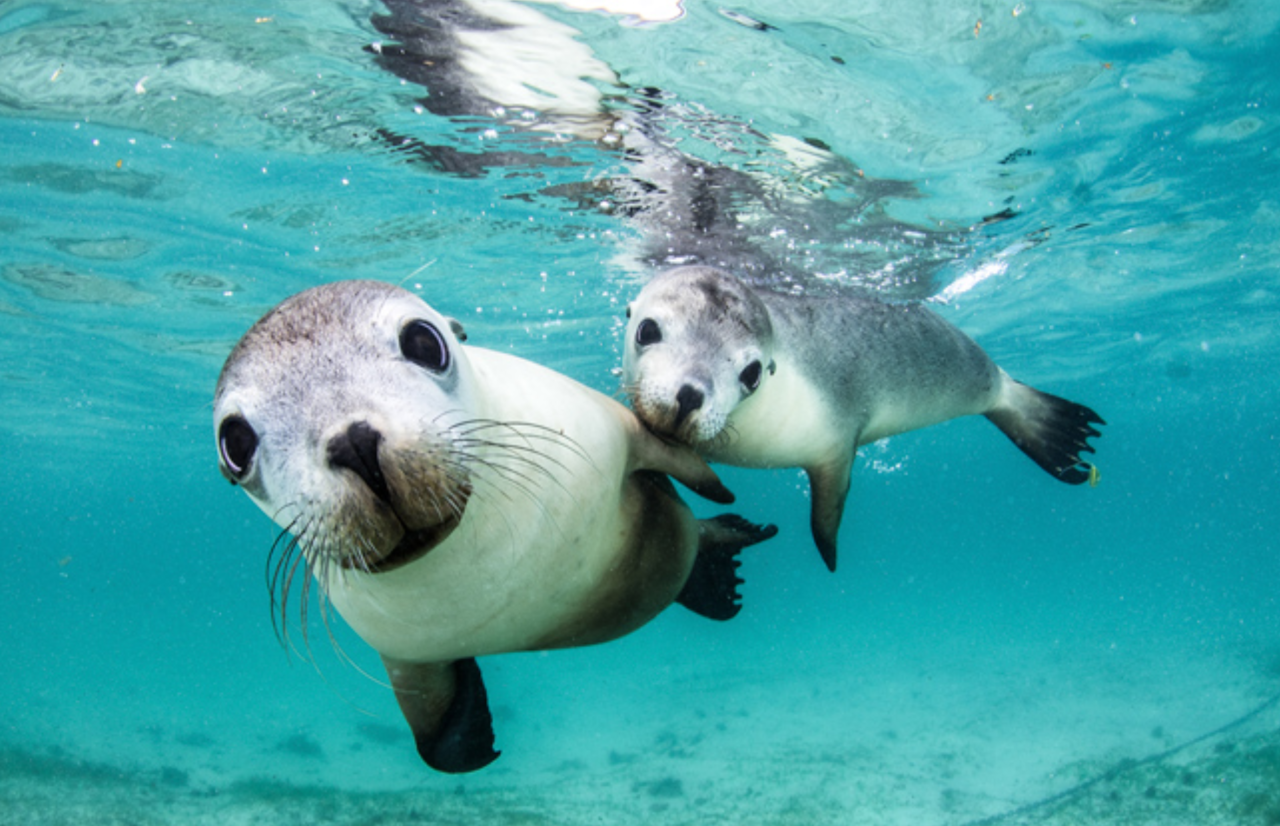 <p>The beautiful sea lions were pictured in Murien Bay Marine Park, Western Australia with a Nikon D500 (Celia Kujala/Ocean Art photography contest) </p>