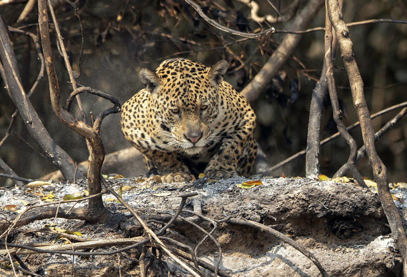 A jaguar crouches on an area recently scorched by wildfires at the Encontro das Aguas park in the Pantanal wetlands near Pocone, Mato Grosso state, Brazil, Sunday, Sept. 13, 2020. Firefighters, troops and volunteers have been scrambling to find and rescue jaguars and other animals before they are overtaken by the flames, which have been exacerbated by the worst drought in 47 years, strong winds and temperatures exceeding 40 degrees centigrade (104 fahrenheit). (AP Photo/Andre Penner)