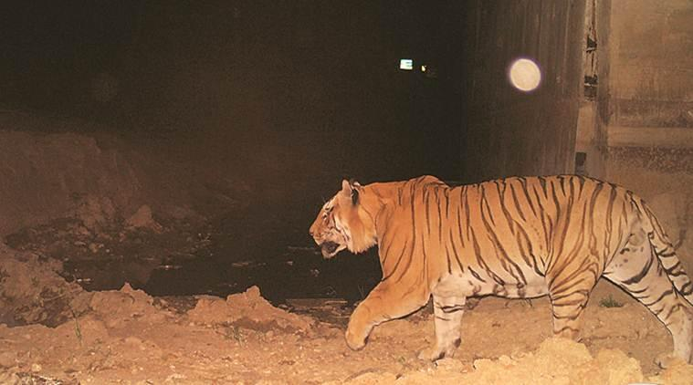 animal underpasses, animal underpasses maharashtra, tigers, tigers in india, maharshtra, pench reserve, pench wildlife reserve, wildlife, wildlife conservation, india news, indian express