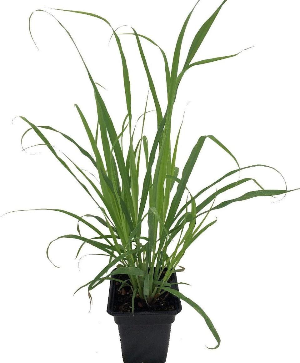 "<p>Add a fresh lemony taste to your food with this <a href=""https://www.popsugar.com/buy/Ohio-Grown-Lemongrass-Plant-571563?p_name=Ohio%20Grown%20Lemongrass%20Plant&retailer=amazon.com&pid=571563&price=9&evar1=casa%3Aus&evar9=46114279&evar98=https%3A%2F%2Fwww.popsugar.com%2Fhome%2Fphoto-gallery%2F46114279%2Fimage%2F47449686%2FLemongrass&prop13=api&pdata=1"" class=""link rapid-noclick-resp"" rel=""nofollow noopener"" target=""_blank"" data-ylk=""slk:Ohio Grown Lemongrass Plant"">Ohio Grown Lemongrass Plant </a> ($9).</p>"