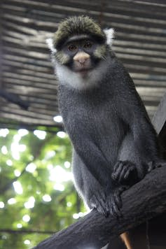 A black monkey with yellow highlights