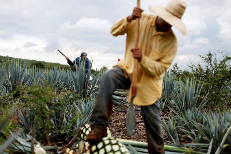 FILE PHOTO: A farmer, also known as a jimador, harvests blue agave in a plantation in Tepatitlan, Jalisco
