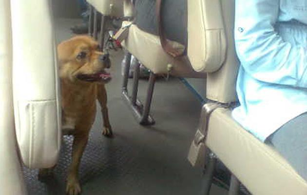 Dog 'Huang Huang' seen searching for missing owner in China. (Sreen shot from Sina Weibo)