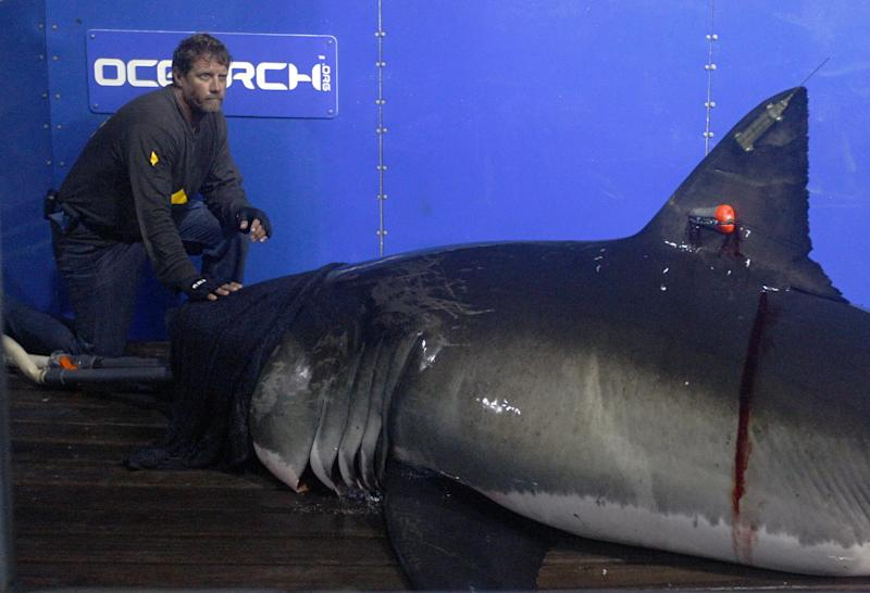 In this Sept. 13, 2012, photo, Captain Brett McBride places his hand on the snout of the crew's first specimen while scientists collect blood, tissue samples and attach tracking devices on the research vessel Ocearch off the coast of Chatham, Mass. Before release, the nearly 15-foot, 2,292-pound shark was named Genie for famed shark researcher Eugenie Clark.  The Ocearch team baits the fish and leads them onto a lift, tagging and taking blood, tissue and semen samples up close from the world's most feared predator. The real-time satellite tag tracks the shark each time its dorsal fin breaks the surface, plotting its location on a map. (AP Photo/Stephan Savoia)