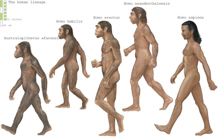 Group of Homosapiens, Australopithecus afarensis, Homo erectus, Homo habilis, and Neanderthal. (Photo by: Encyclopaedia Britannica/Universal Images Group via Getty Images)