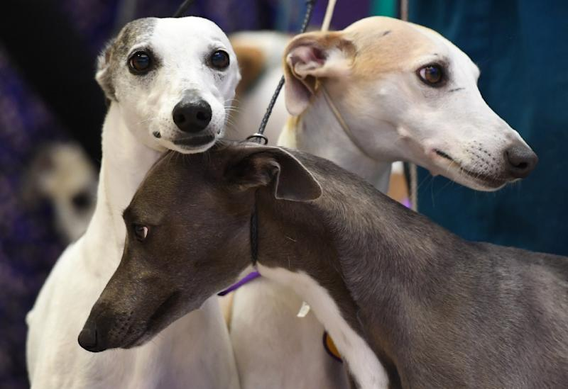 It turns out our pet pooches have evolved human-like eyebrow muscles, which let them make the sad faces that melt our hearts, according to a new study published in the Proceedings of the National Academy of Sciences (PNAS) (AFP Photo/TIMOTHY A. CLARY)