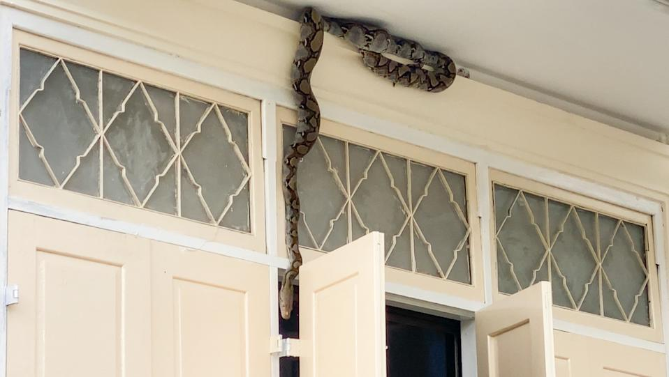 A large python is seen hanging over an open window at a school in Thailand.