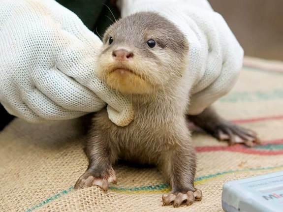 Here, an 8-week-old Asian small-clawed otter pup gets its checkup.