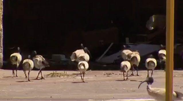 Officially they are called the Australian white ibis but locals know them as the 'bin chicken'. Photo: 7 News