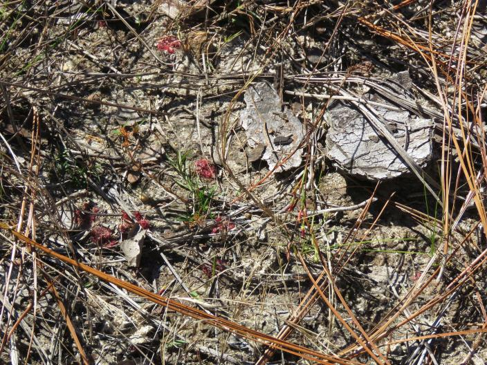 Longleaf pine needles and a chunk of bark frame tiny carnivorous plants called sundews in the DeSoto National Forest in Miss., on Wednesday, Nov. 18, 2020. An intensive effort in nine coastal states from Virginia to Texas is bringing back longleaf pines -- armor-plated trees that bear footlong needles and need regular fires to spark their seedlings' growth and to support wildly diverse grasslands that include carnivorous plants and harbor burrowing tortoises. (AP Photo/Janet McConnaughey)