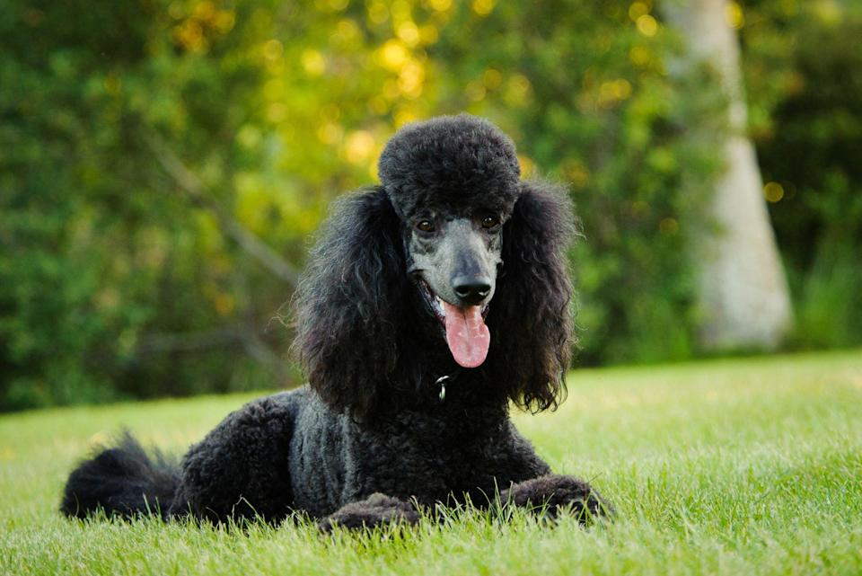 <p>Poodles are wickedly smart and staunchly athletic, regardless of their size. Their hair is prone to matting, poodles have a low-shedding coat. Groomers will likely clip poodles close to their bodies to show off their trim, muscular figures.</p>