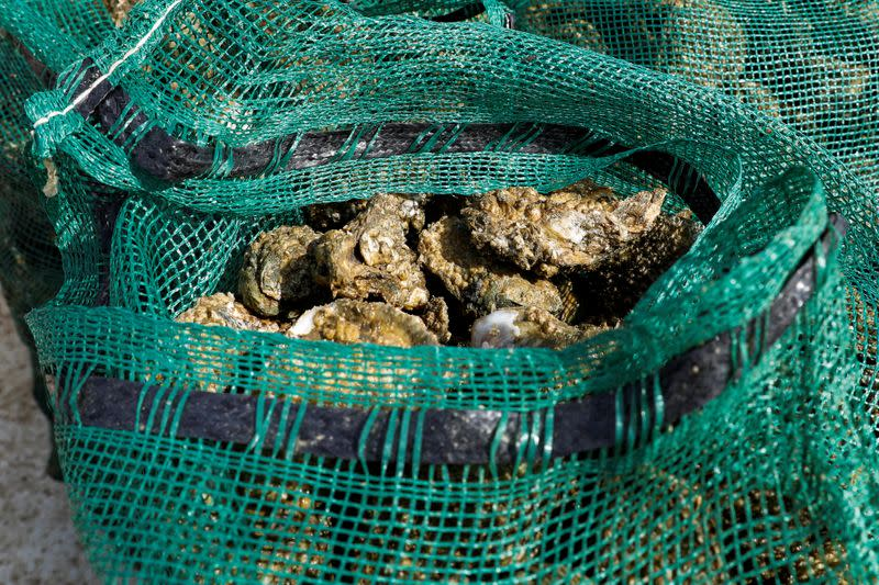 Oysters just pulled from the bottom of Apalachicola Bay sit bagged in Michael Dasher, Jr.'s boat off Eastpoint, Florida